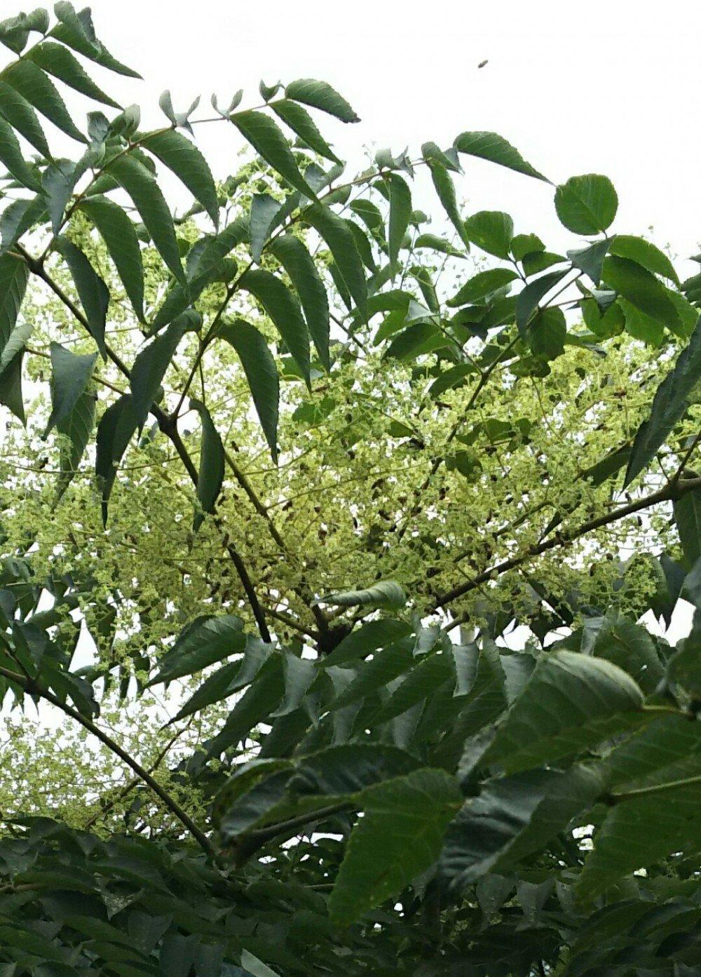 木 タラ の